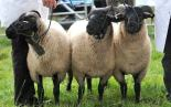 sheepshow